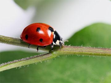 Ladybug in a twig